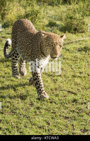 Junge männliche leopard Cub zu Fuß und auf der Suche nach Beute in der Masai Mara am frühen Morgen bewahren - Stockfoto