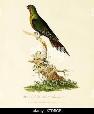 Die australische Tierwelt - rot abgesetzten Paroquat (SITTICH) oder Red-winged Parrot, Aprosmictus erythropterus - Stockfoto