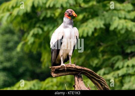 King Vulture (Sarcoramphus Papa) - La Laguna del Lagarto Lodge, Boca Tapada, Costa Rica