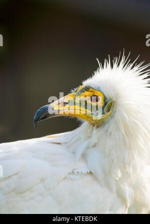 Schmutzgeier (Neophron Percnopterus), auch genannt der weißen Scavenger Geier oder Pharaos Huhn - Stockfoto