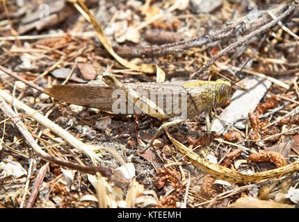 Große Heuschrecke in seiner natürlichen Umgebung, Griechenland. - Stockfoto