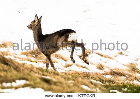 Ettrick, Selkirk, Scottish Borders, Großbritannien. 16. Dezember 2017. Eine ypung Reh (Capreolus capreolus) im Schnee - Stockfoto