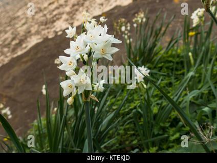 Narcissus Papyraceus. Paperwhite. Papier-Weiße Narzisse. Miniatur ...
