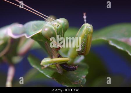 Gottesanbeterin, Essen und anderen Insekten in Tamil Nadu, Südindien entdeckt - Stockfoto