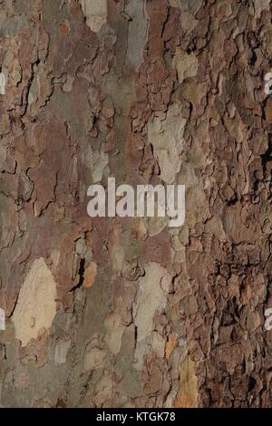 Flockige lückenhaft Baum Rinde von London Plane Tree (Plantanus x Hispanica). Hyde Park, UK. Dezember 2017. - Stockfoto