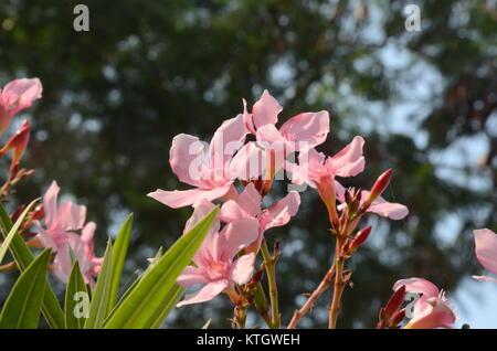 Nerium oleander in den Park. - Stockfoto