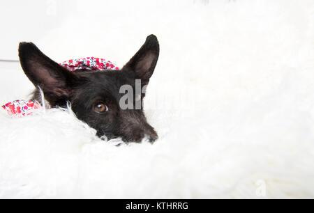 Schwarz Corgi Mix Hund Entspannt auf weißen Sofa - Stockfoto