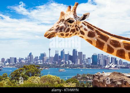 Giraffe in den Taronga Zoo, Sydney schaut in Richtung der Financial District. Australien. - Stockfoto