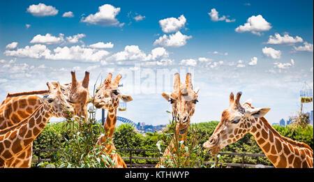 Giraffen am Taronga Zoo, Sydney schaut in Richtung zur Harbour Bridge. Australien. - Stockfoto