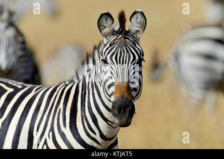 Zebra auf Grünland in Afrika, Nationalpark in Kenia - Stockfoto