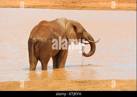 Im Nationalpark von Kenia, Afrika Elefant - Stockfoto