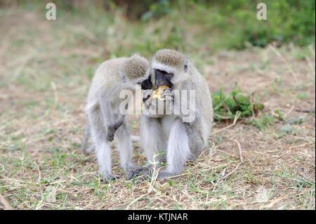 Vervet Affen essen Apfel, Nationalpark in Kenia, Afrika - Stockfoto