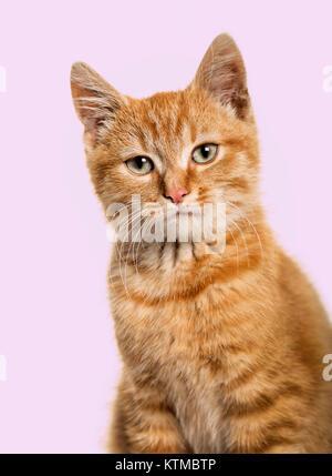 Close-up Portrait auf eine rothaarige Katze, lila Hintergrund - Stockfoto