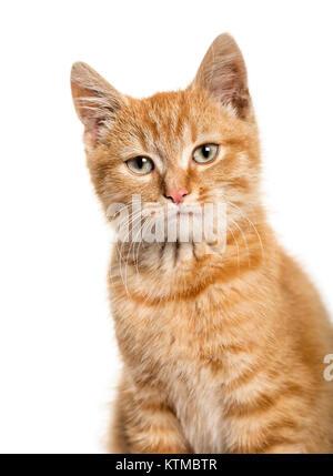 Close-up Portrait auf eine rothaarige Katze, weißer Hintergrund - Stockfoto
