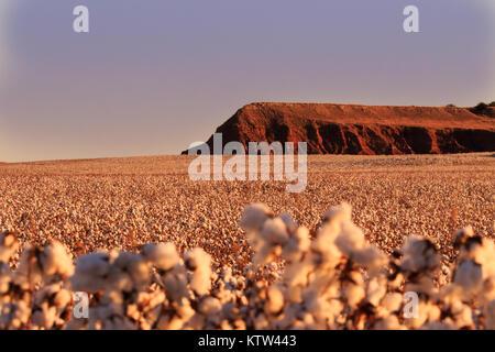 Eine Hochebene in Fairview, Oklahoma durch einen flauschigen Feld aus Baumwolle 2017 umgeben - Stockfoto