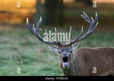 Rothirsch Cervus elaphus Hirsch im Morgengrauen Gebrüll während der brunft Bushy Park London Oktober - Stockfoto