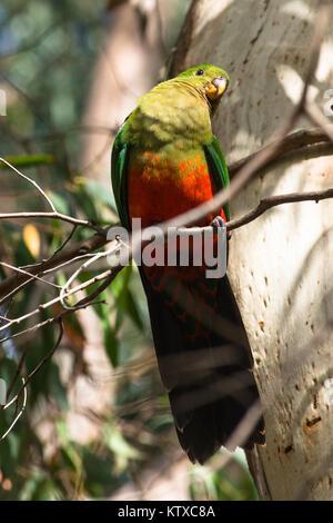 Buchse, rot winged Parrot in den Bäumen auf Kangaroo Island. South Australia, Australien, Pazifik - Stockfoto