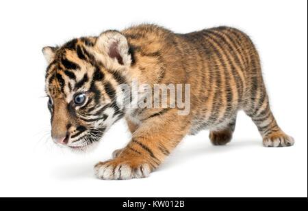Sumatra Tiger Cub, Panthera tigris sumatrae, 3 Wochen alt, vor weißem Hintergrund - Stockfoto