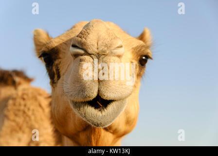 Nahaufnahme von einem Kamel Nase und Mund, Nasenlöcher geschlossen um zu halten, sand - Stockfoto