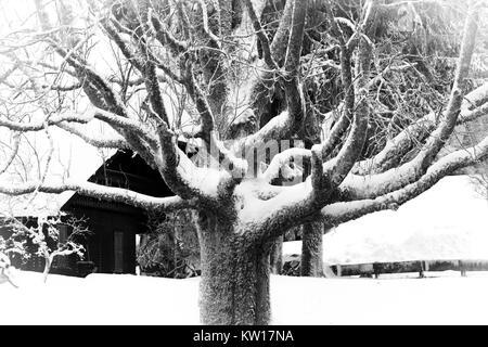Alte, knorrige, Schnee-Baum im Winter abgedeckt. Schwarz und Weiß. - Stockfoto