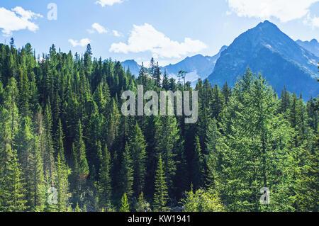 Wald auf einem Hügel Wiese in den hohen Bergen auf einer klaren Licht solar Sommer Tag Fichte. Wilde Sibirische - Stockfoto