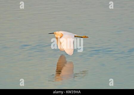 Vogel snowy egret in Feuchtgebieten - Stockfoto