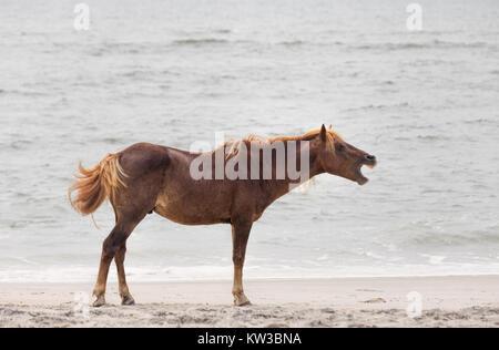 Ein Wildes Pony, Pferd, von Assateague Island, Maryland, USA am Strand. Diese Tiere sind auch als Assateague Pferde - Stockfoto