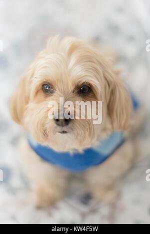 Morkie hund Mischling trägt einen blauen Pullover - Stockfoto