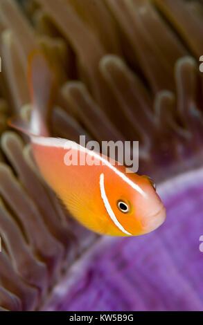 Rosa Anemonenfischen (AMPHIPRION PERIDERAION) Schwimmen über ANENOME - Stockfoto