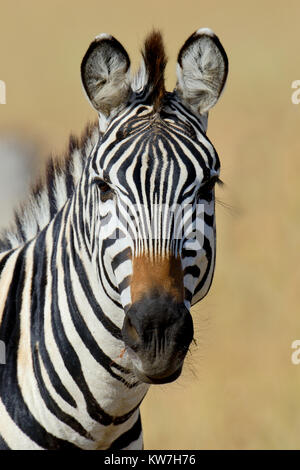 Zebra auf Grünland in Afrika, Nationalpark in Kenia - Stockfoto