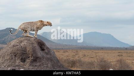 Afrikanischen Geparden, schöne Säugetier Tier. Afrika, Kenia - Stockfoto