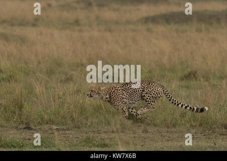 Gepard (Acinonyx jubatus) ausgeführt wird. - Stockfoto