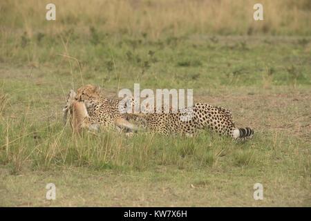 Zwei Geparden (Acinonyx jubatus) mit einem thomsons Gazelle (Eudorcas Thomsonii) direkt nach dem Töten - Stockfoto