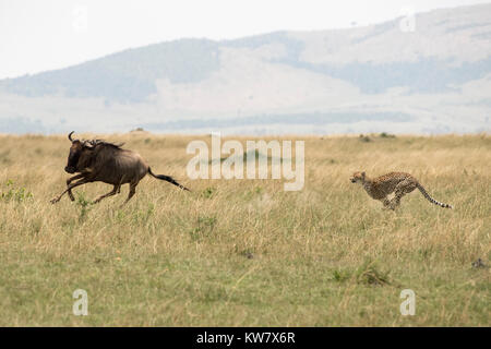 Gepard (Acinonyx jubatus) auf der Jagd nach einem wildebeeste (Gnu, connochaetes Taurinus) - Stockfoto