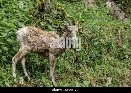 Bergziege am Northwest Trek Wildlife Park in der Nähe von Eatonville, Washington, USA - Stockfoto