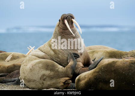 Atlantischen Walross mitgeführt und auf arktischen Strand - Stockfoto