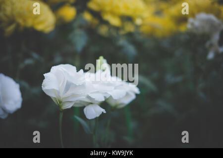 Weiße Eustoma Lisianthus Im Blue Room Stockfoto Bild 96335927