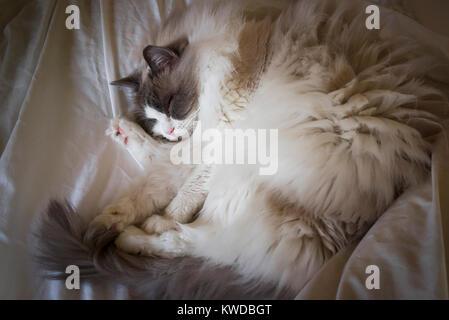 Schlafen Ragdoll Katze liegend auf einem offenen Bett in Großbritannien - Stockfoto