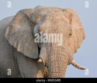 Ein nahes Portrait von Angesicht eines Afrikanischen Elefanten - Stockfoto