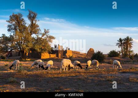 Schafe weiden in der idyllischen Umgebung von Kasbah bei Sonnenuntergang. - Stockfoto