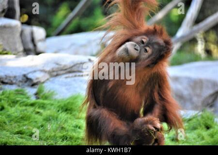Baby Orangutan Spielen rund um - Stockfoto