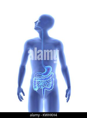 Der menschliche Körper - Verdauungssystem. X-Ray Effect. 3D ...