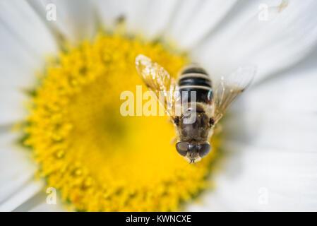 Extreme Nahaufnahme von einer Honigbiene bestäubt eine weiße daisy flower im Sommer - Stockfoto