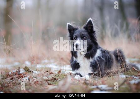 Border Collie in der foerrest im Winter - Stockfoto