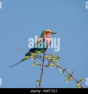 Ein Lilac-breasted Roller in einem Baum im Namibischen Savanne gehockt - Stockfoto