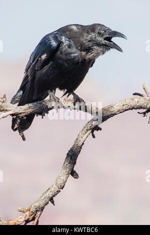 Kolkrabe (Corvus Corax) mit offenem Mund, rufe an, während Sie auf einem Baumstumpf thront. - Stockfoto