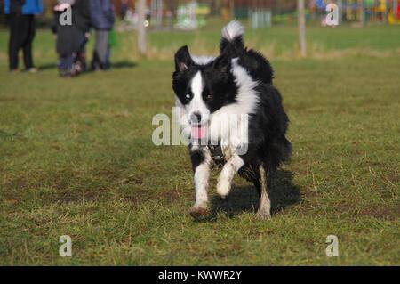 Happy Border Collie auf Gras. Junge aufmerksamer Hund läuft auf der Wiese. Sozialisierung der Tiere. - Stockfoto