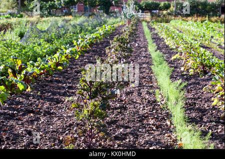Reihen von Gemüsekulturen in einen Englischen Garten. Karotten und Rote Beete - Stockfoto