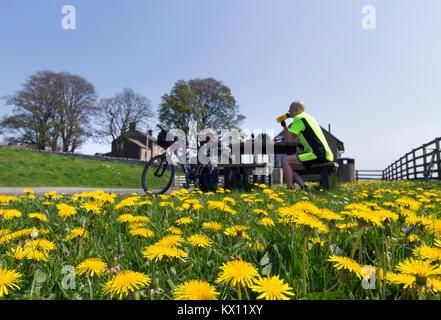 Radfahrer eine Pause unter Löwenzahn Blumen an Hury Behälter Picknick, Baldersdale, Teesdale, County Durham, UK. - Stockfoto
