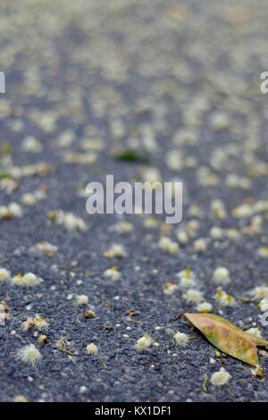 Eukalyptus Blumen auf einer Straße, Sunshine Coast, Queensland, Australien - Stockfoto